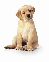 Labradorblond